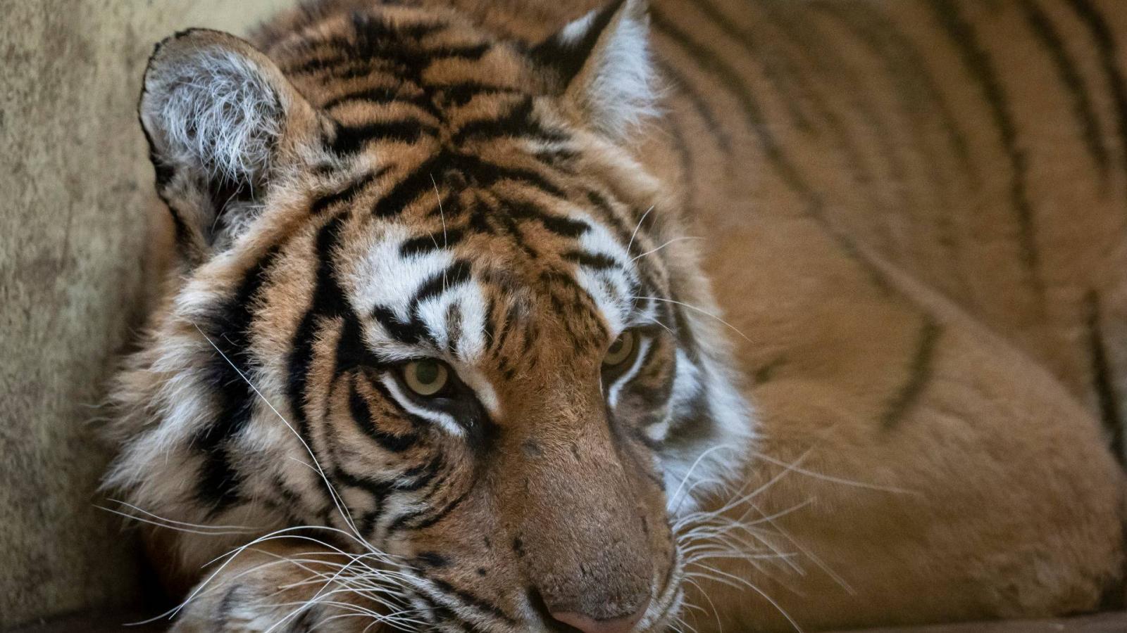 A Clenox maláj tigris a jogos fogyás gyógyszer? - Steroidly