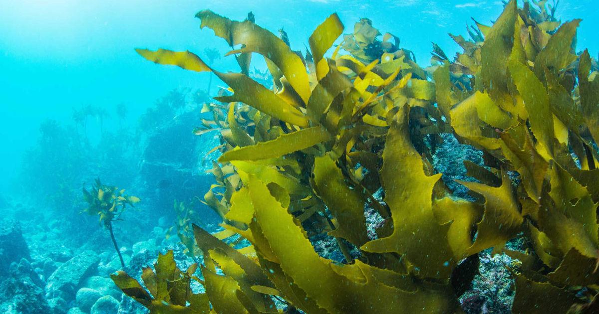 tengeri tengeri moszat segíthet a fogyásban