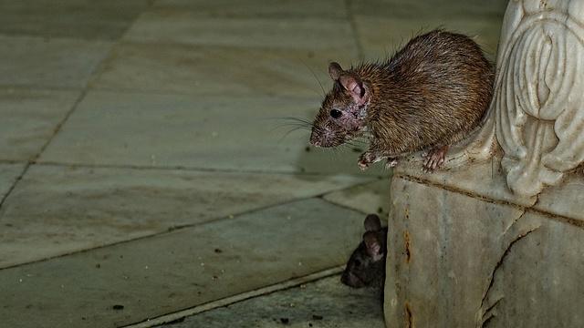 patkány fogyás