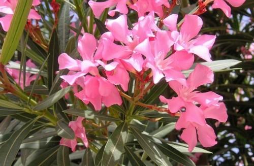 Leander (Nerium oleander) gondozása, szaporítása   Ültetés, Leander, Virágok
