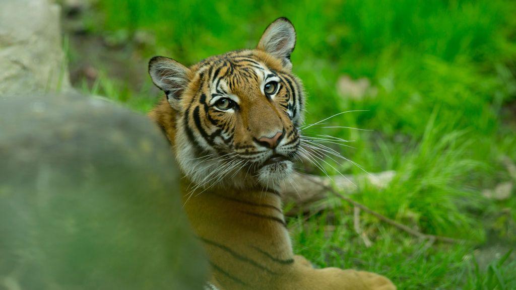 Clenox maláj tigris Clenbuterol zsír égők | Hogyan működik a Clen?