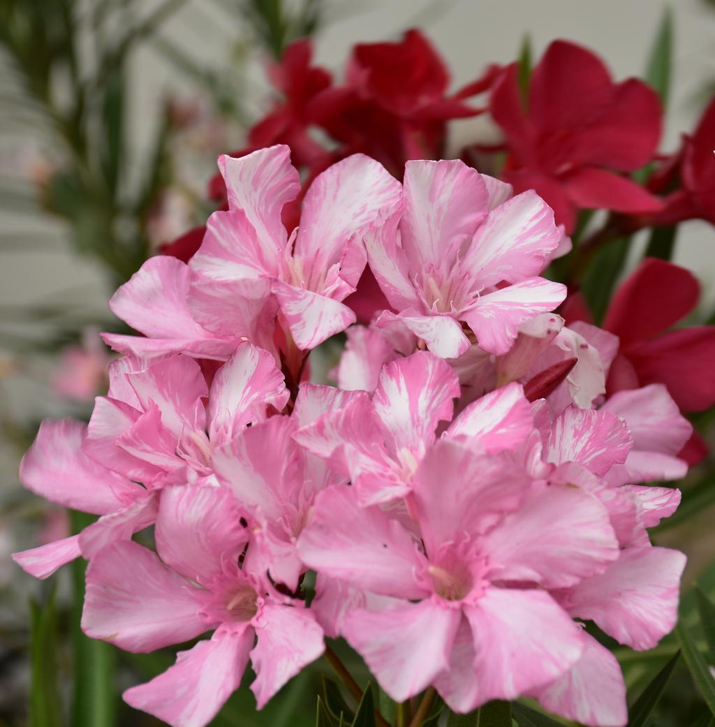 oleander fogyás