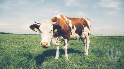 szép tehén test fogyókúra